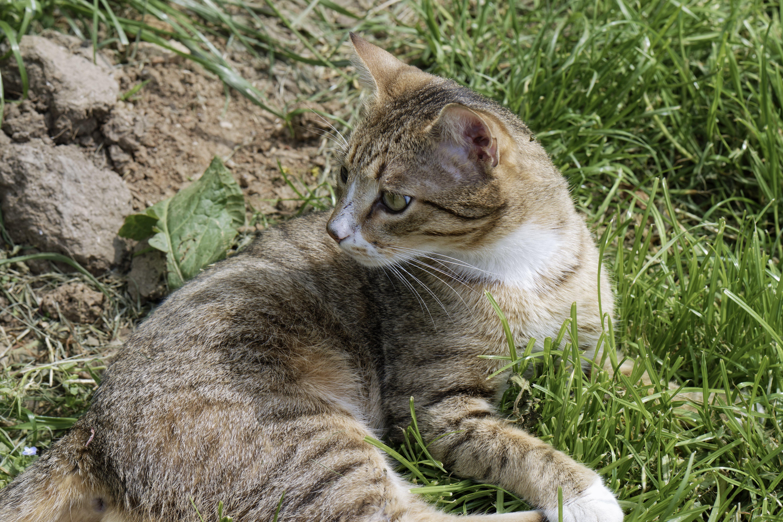 Free stock photo of adorable, cat, cute, feline