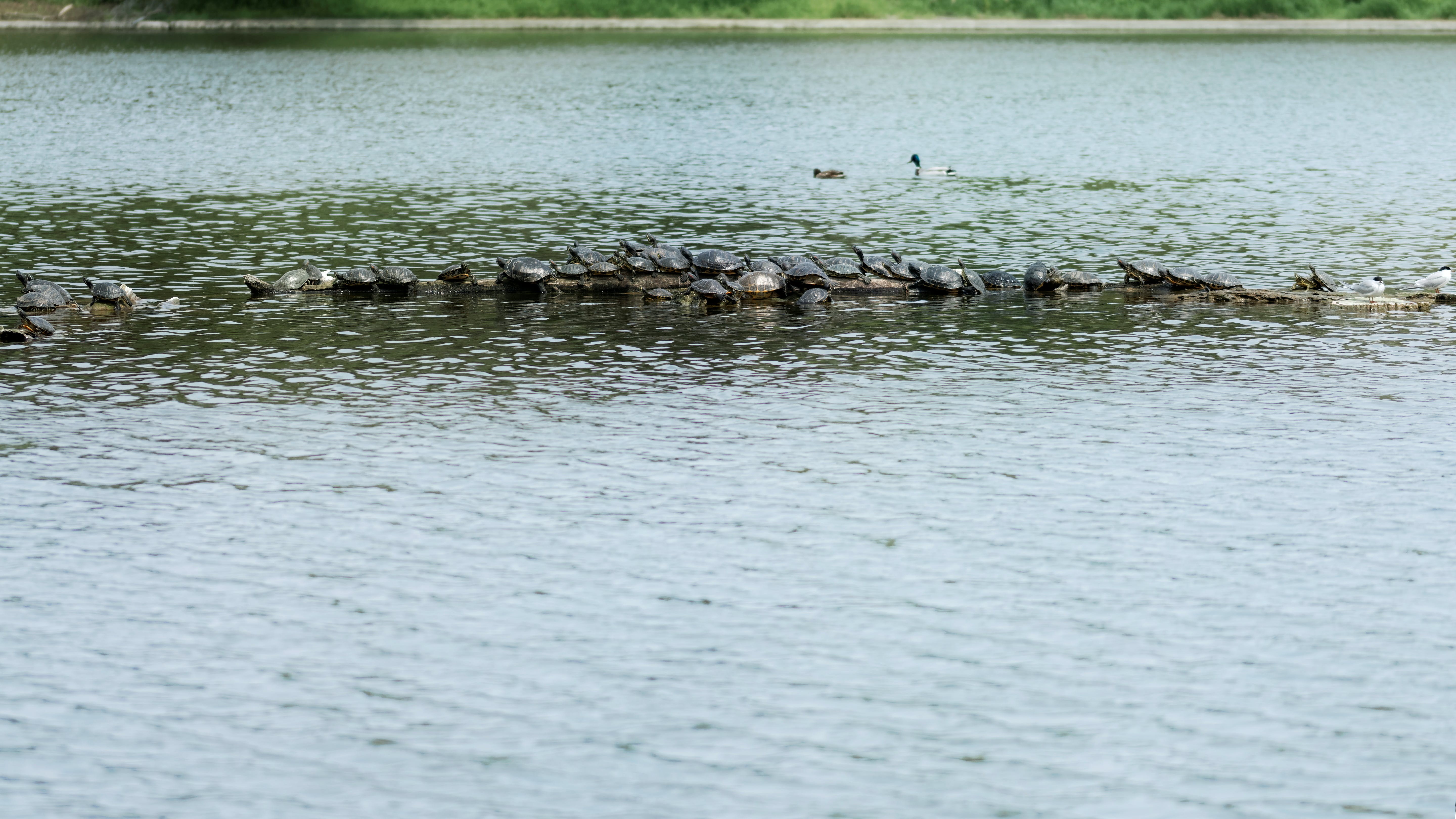 Free stock photo of a lot of turtles on lake, birds, nature, sunny