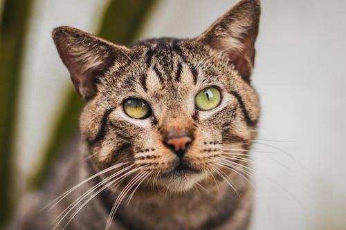 Foto stok gratis anak kucing, binatang, binatang peliharaan, cambang