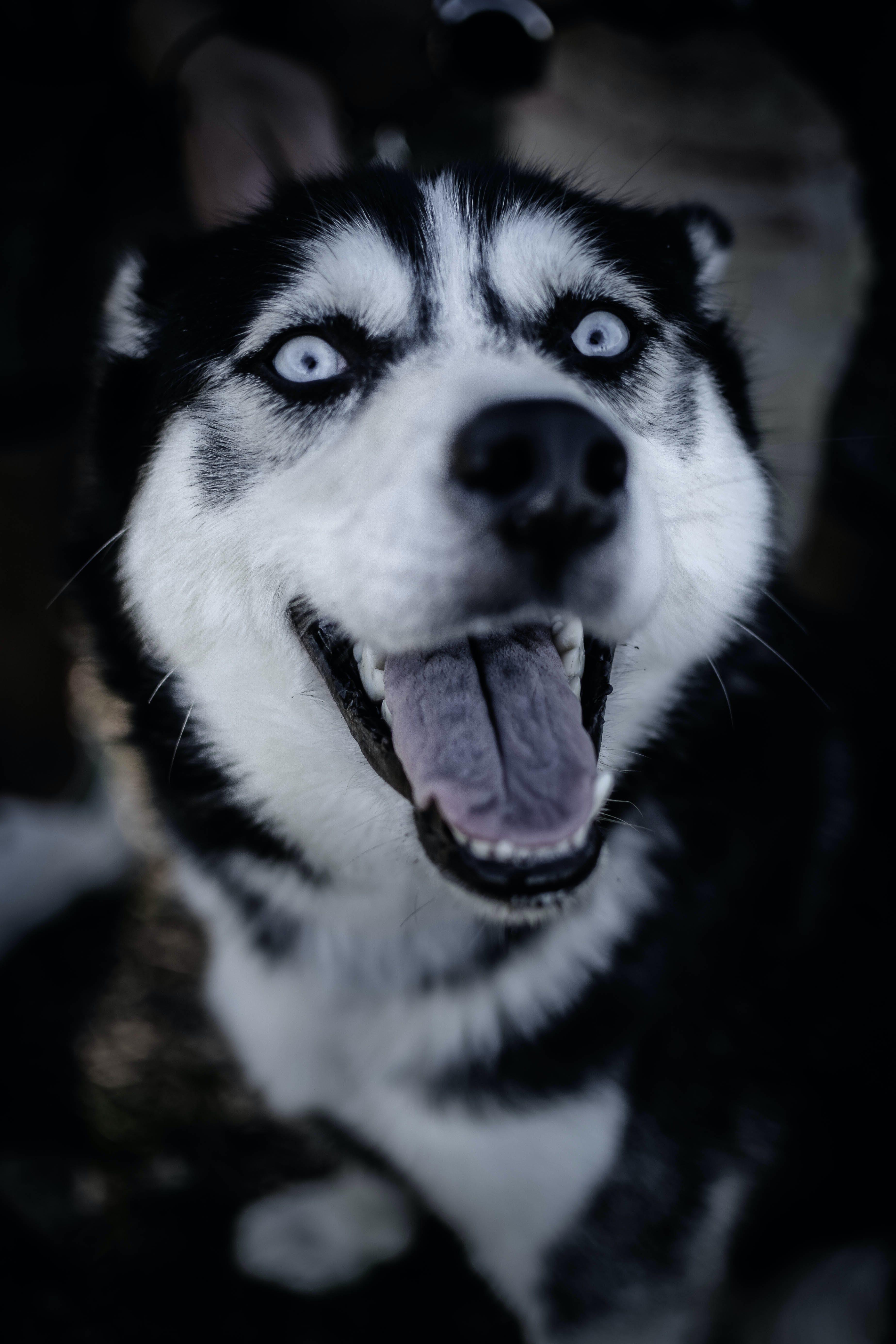 beyaz köpek, fotoğrafçılık, gözler, huskey içeren Ücretsiz stok fotoğraf