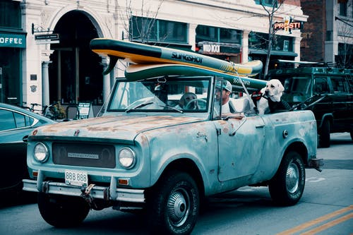 Man Driving Pickup Truck With Two Large Dogs And Surfboard