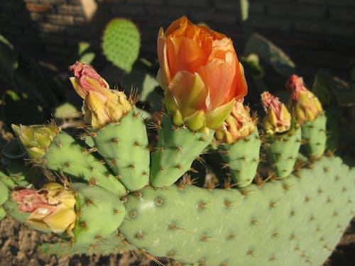 คลังภาพถ่ายฟรี ของ ความงาม, ดอกแคคตัส, ดอกไม้, ดอกไม้สวย