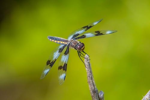 Fotobanka sbezplatnými fotkami na tému hmyz, krídla, vážka, zelená