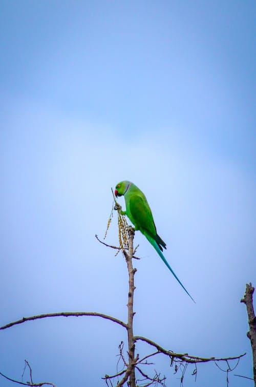 Gratis stockfoto met blauwe lucht, heldere lucht, papegaai, vogel
