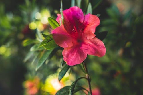 Free stock photo of beautiful flower, beautiful flowers, Exotic flower, pink flowe