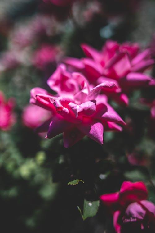 Free stock photo of beautiful flower, beautiful flowers, flowers, pink