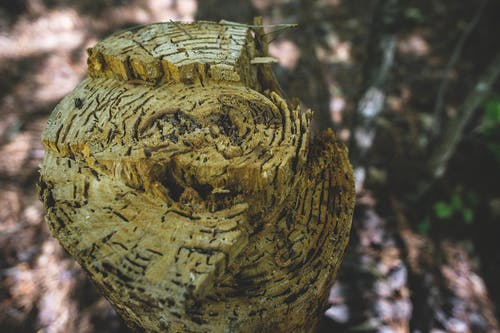 Free stock photo of chipped wood, chopped wood, stump, tattered