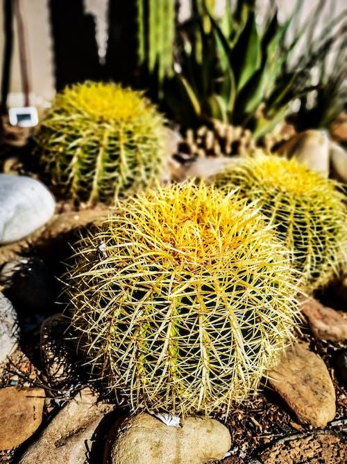 Ingyenes stockfotó #természet, desszertes asztal, gyárak, kaktusz témában