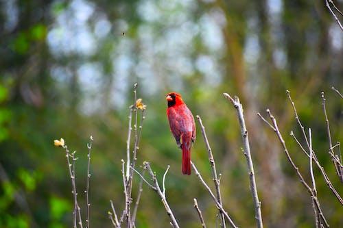 Free stock photo of bird, cardinal, red, red cardinal bird