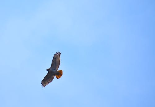 Free stock photo of hawk, Red Tail
