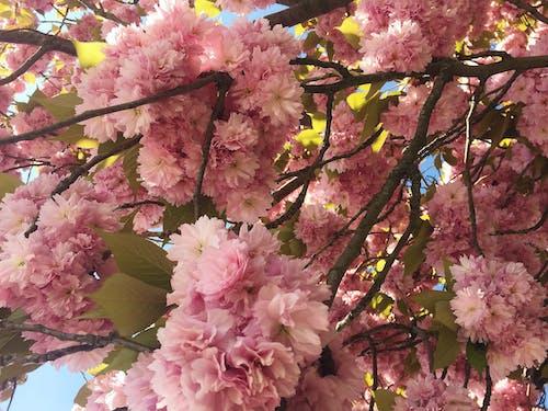 さくらんぼ, チェリー, ピンク, ピンクの花の無料の写真素材