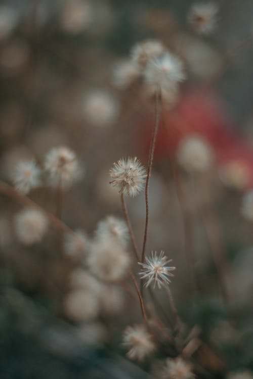 Selective Focus Photography of Dandelion Flowers