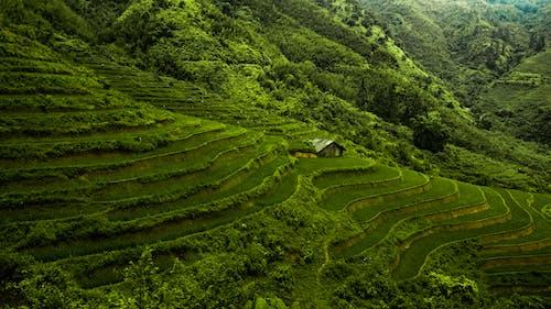 Foto d'estoc gratuïta de agricultura, bonic, camps d'arròs, camps de cultiu