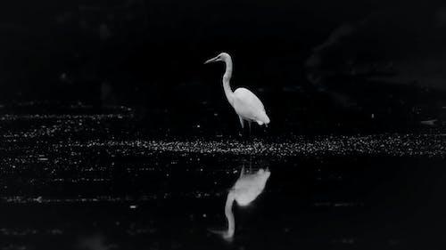 Fotobanka sbezplatnými fotkami na tému čierna a biela, volavka biela, vták