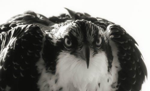 Fotobanka sbezplatnými fotkami na tému detail, morský orol, vták