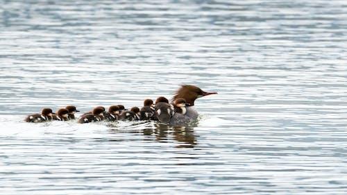 Fotobanka sbezplatnými fotkami na tému kačica, merganser, vtáky