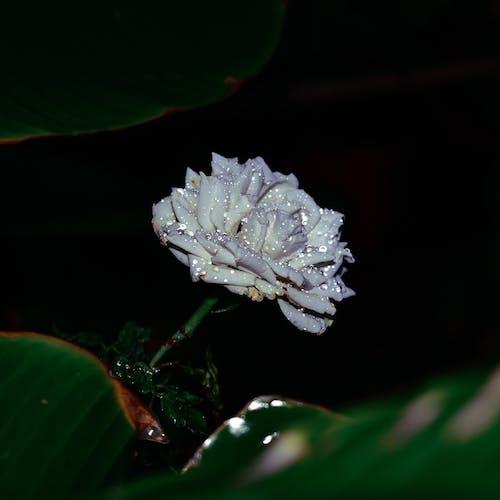 คลังภาพถ่ายฟรี ของ #ธรรมชาติ, กุหลาบขาว, ความงามในธรรมชาติ, ดอกกุหลาบ