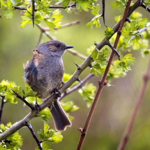 Foto d'estoc gratuïta de #bird #dunnock #sparrow #birdwatching