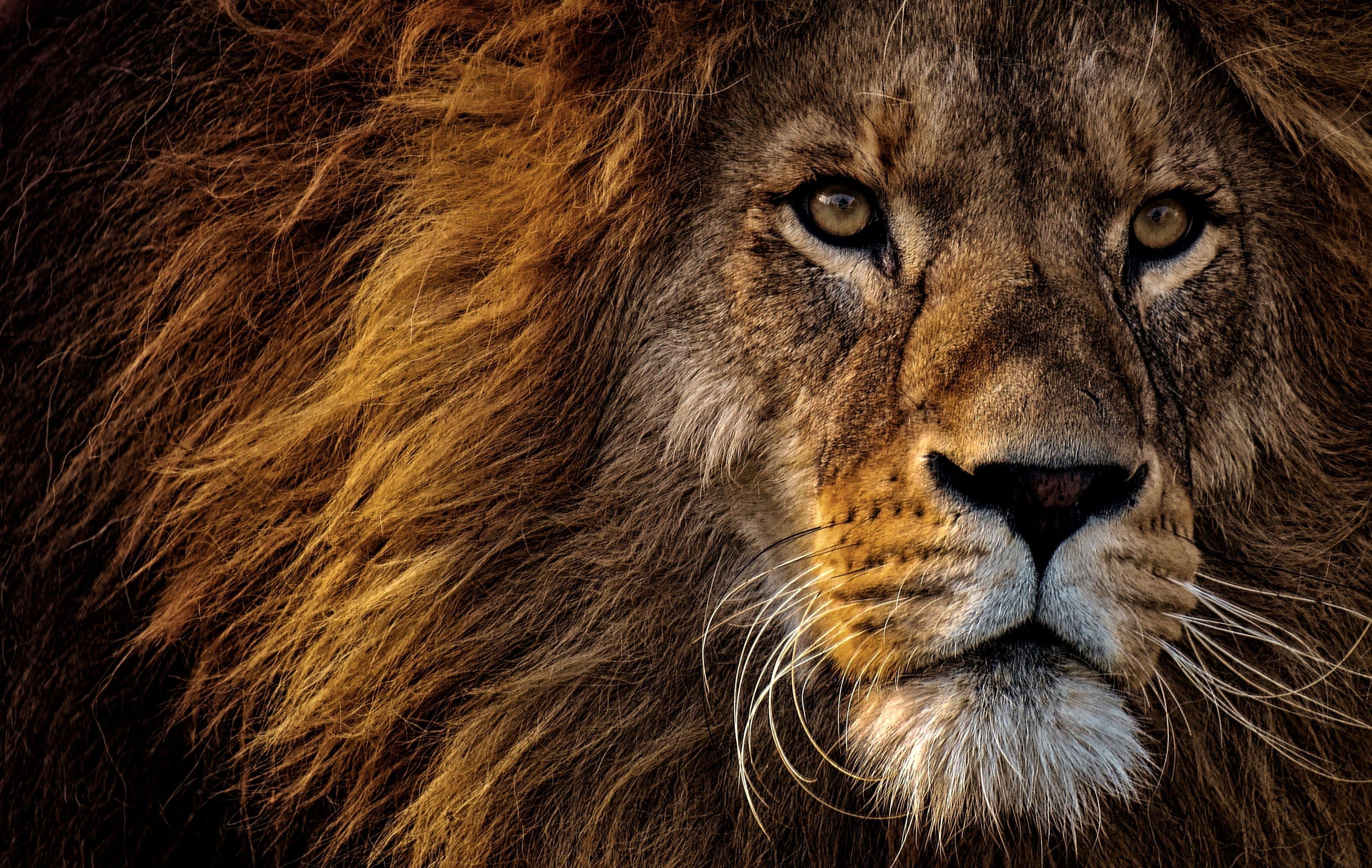 Základová fotografie zdarma na téma divoké zvíře, fotografování zvířat, hříva, kočka rodiny