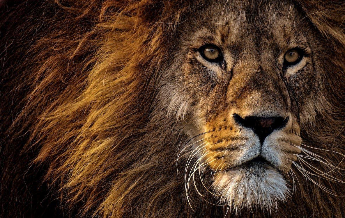 Close-up Photo of Lion's Head