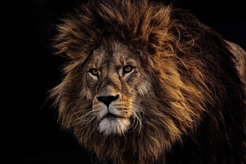 Fotobanka sbezplatnými fotkami na tému divé zviera, divočina, divý, lev