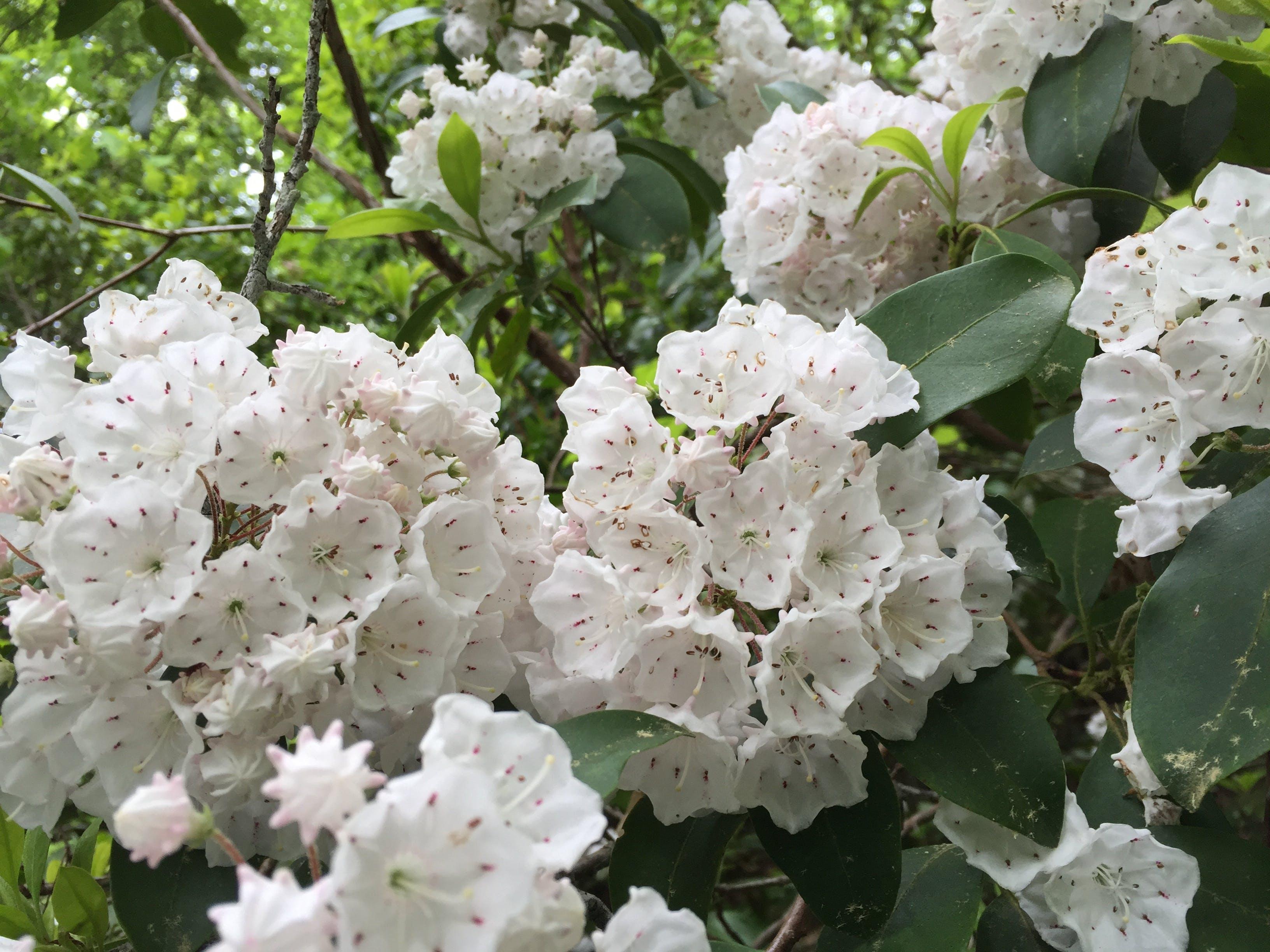 Free stock photo of flower, laurel, laurel flowers, spring