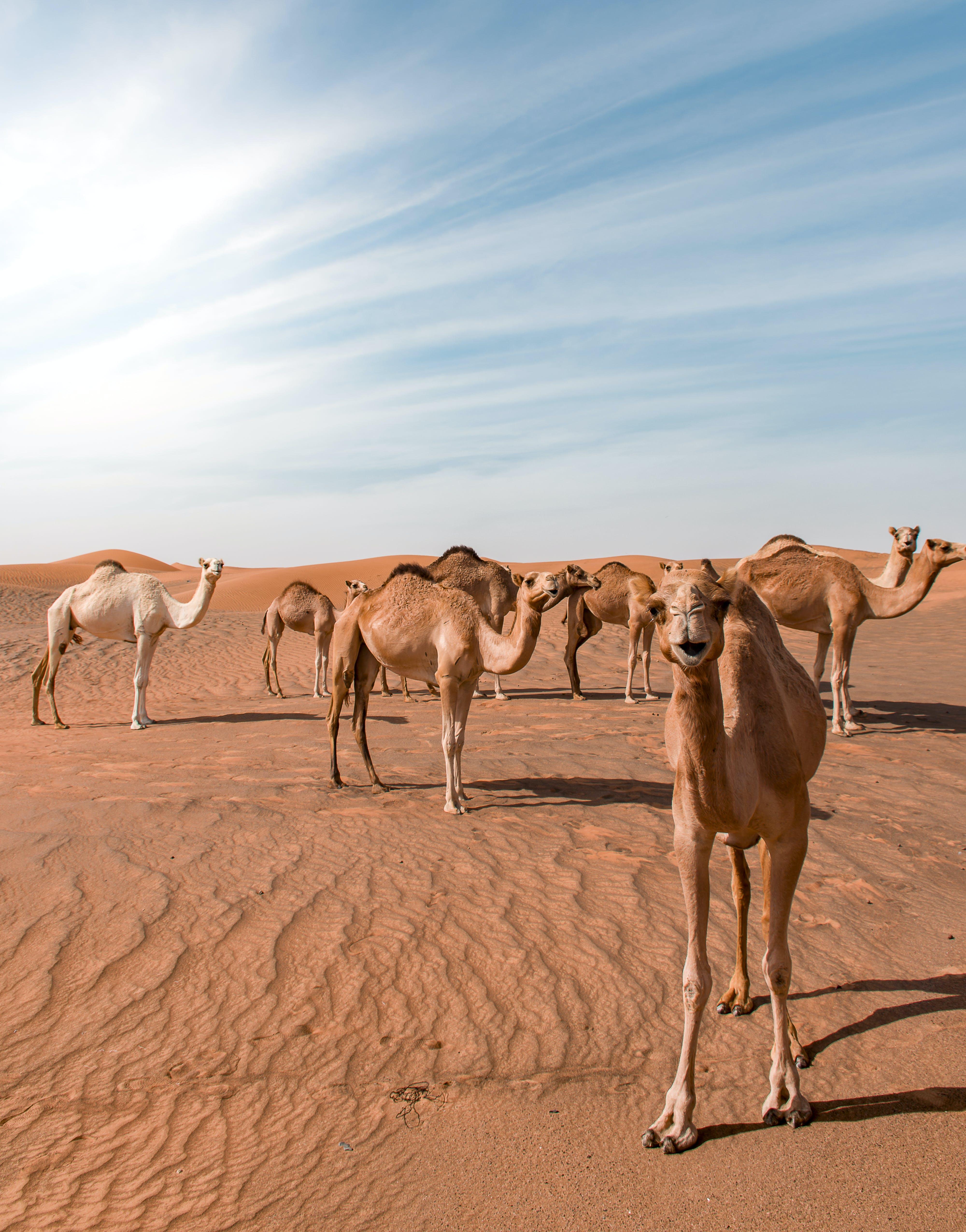 Kostenloses Stock Foto zu 4k wallpaper, abenteuer, abu dhabi, arabian kamel