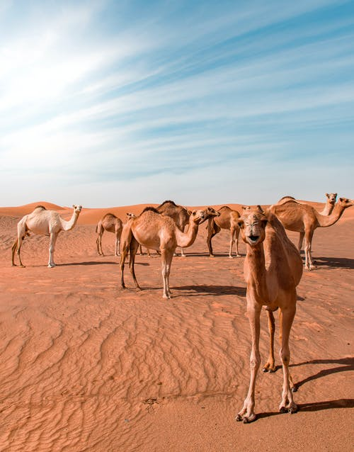 Bunch of Camels in Desert Dune