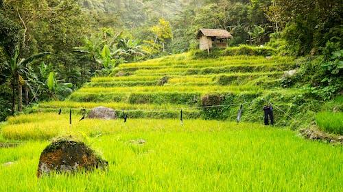 Ảnh lưu trữ miễn phí về cánh đồng, cánh đồng lúa, lá, màu xanh lá