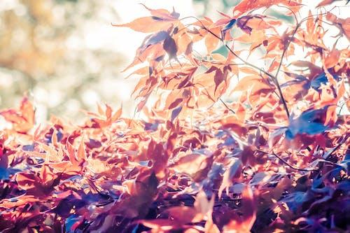 Foto stok gratis alam, daun merah, Daun-daun
