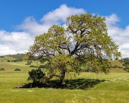 Darmowe zdjęcie z galerii z białe chmury, cień, dąb, drzewo