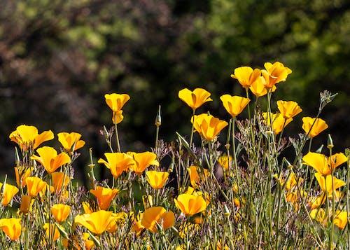 Gratis stockfoto met bloeien, bloeiend, bloemen, californië poppy