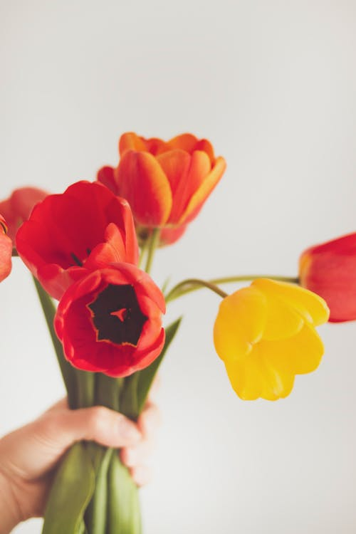 Free stock photo of bouquet, red tulips, tulips, vintage