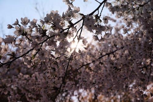 Gratis lagerfoto af blomster, fjeder, forårsblomst, japansk kirsebærtræ