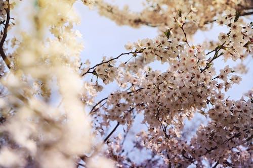 Gratis lagerfoto af blomster, fjeder, japansk kirsebærtræ, kirsebærblomster