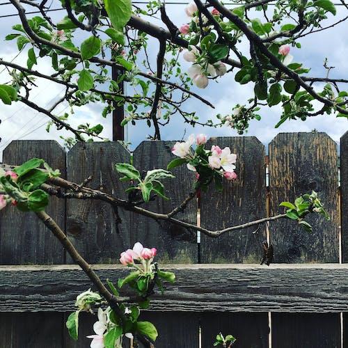 Δωρεάν στοκ φωτογραφιών με arbre, fleurs, printemps, Αμερική