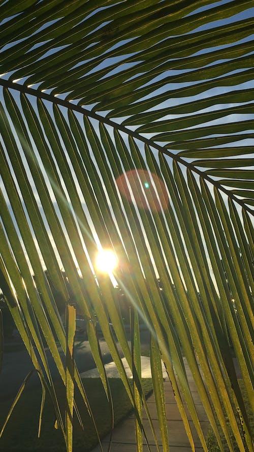 Δωρεάν στοκ φωτογραφιών με background, feuille, palmier, soleil