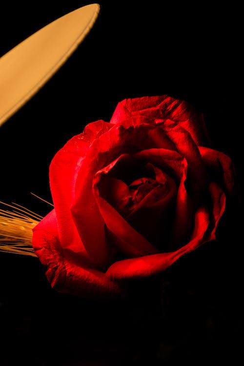Gratis arkivbilde med blomst, blomsterarrangement, blomsterknopp, blomsterpotte