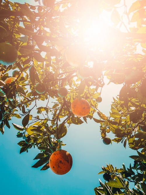 Free stock photo of fruit tree, orange, orange tree, sunshine