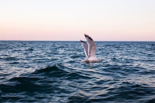 カモメ, シースケープ, ビーチ, フェザーの無料の写真素材