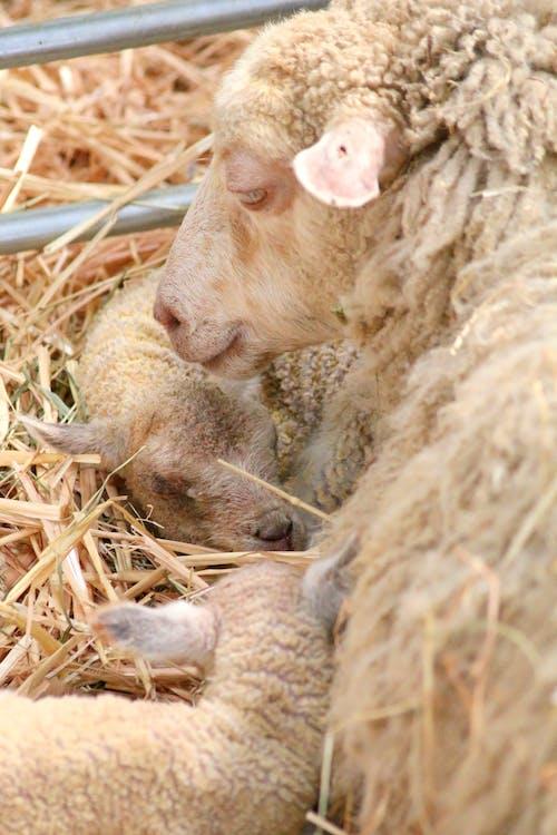 Fotos de stock gratuitas de Cordero, cría de animales, oveja