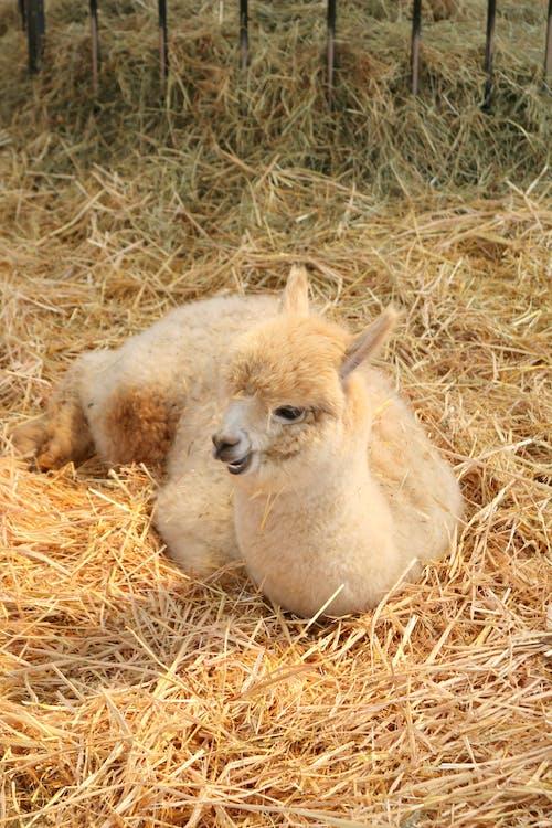 Gratis lagerfoto af alpaca
