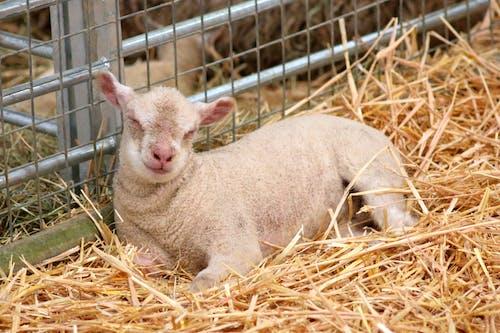 Gratis lagerfoto af baby lam, gård, lam