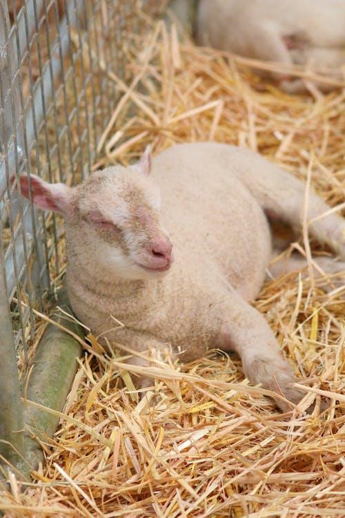 Gratis lagerfoto af animalsk landbrug, baby lam, lam