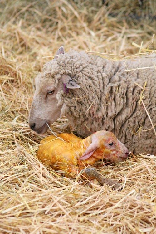 Gratis lagerfoto af baby lam, får, gård, lam