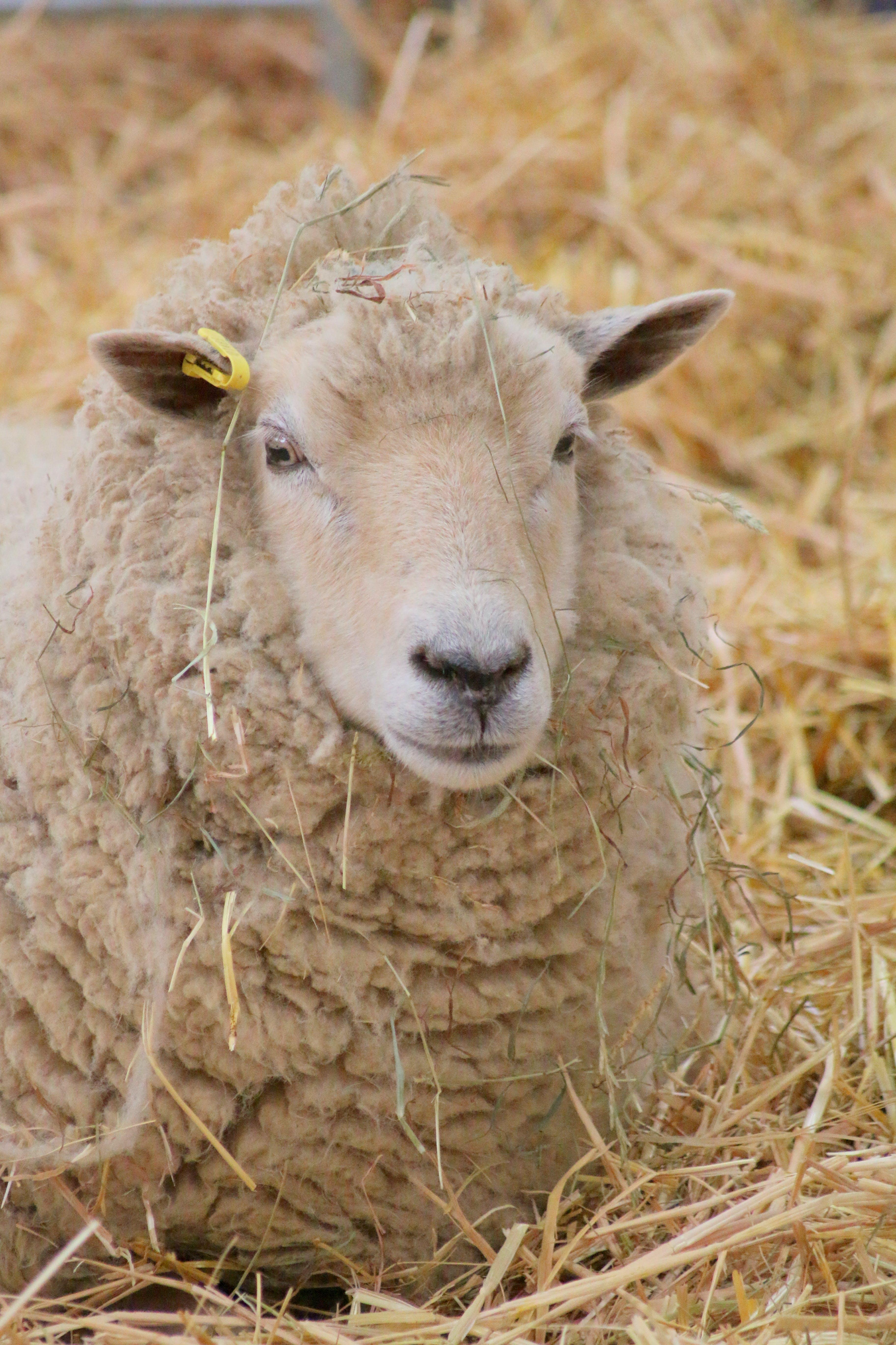 Foto d'estoc gratuïta de granja, ovella
