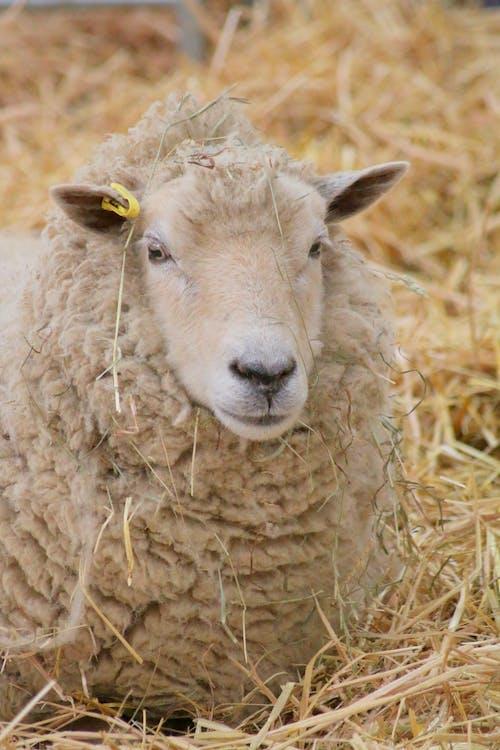 Gratis lagerfoto af får, gård