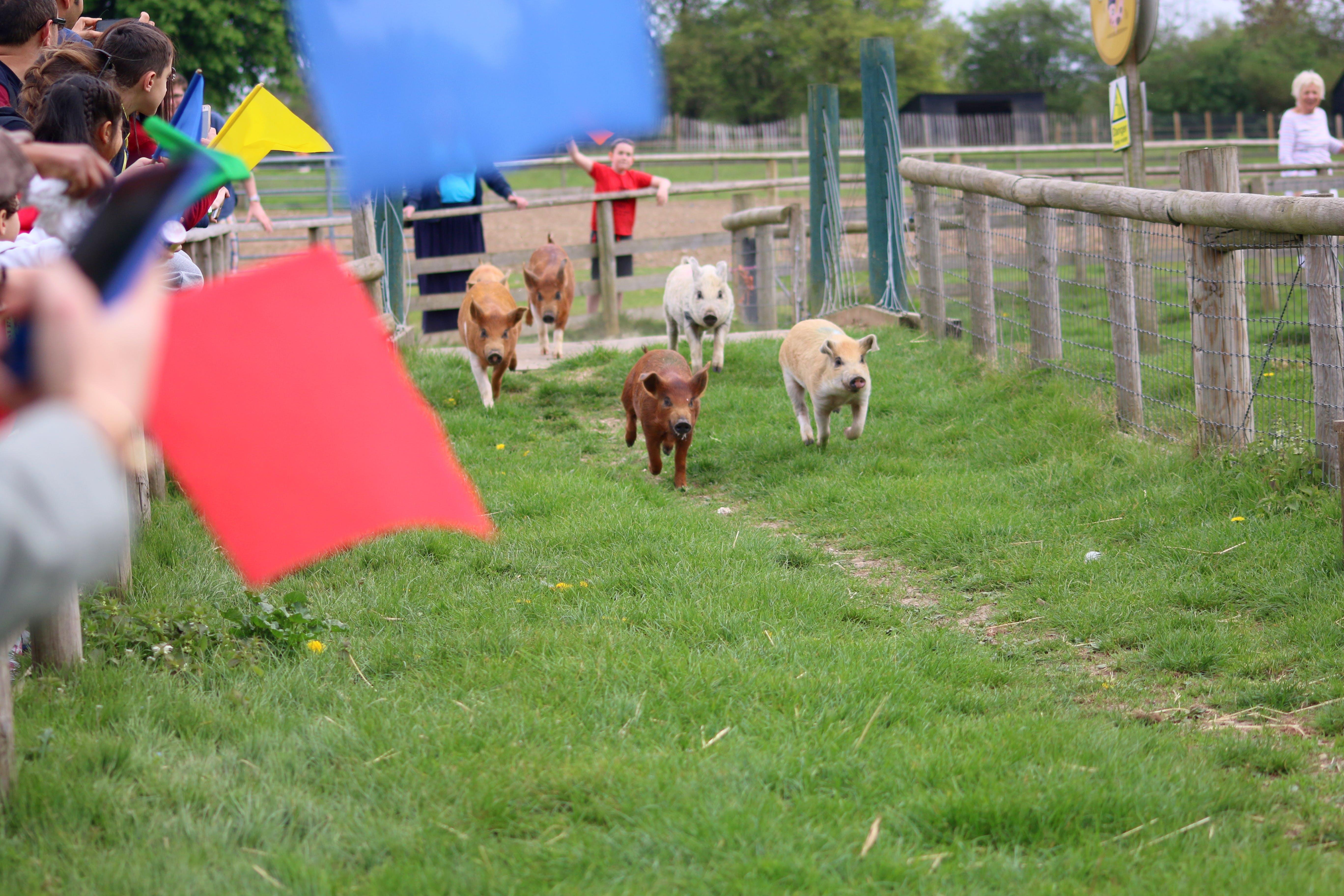 Foto d'estoc gratuïta de execució de porcs, granja, piggies, porcs