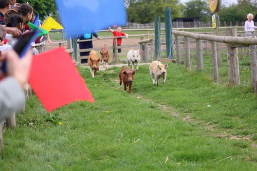 Gratis lagerfoto af gård, gris race, grise, der løber, piggies
