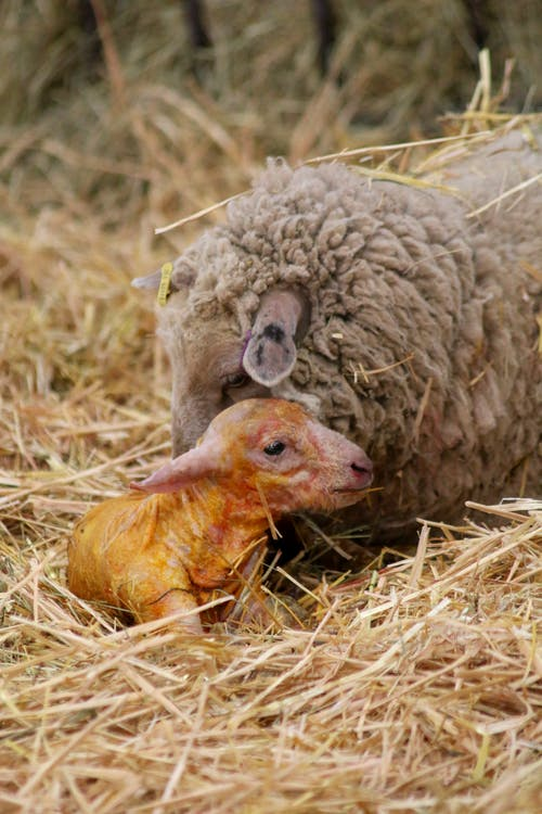 Fotos de stock gratuitas de corderito, Cordero, oveja, oveja recién nacida